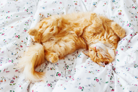 curiously: Cute ginger cat lying in bed. Fluffy pet looks curiously. Cozy home background. Stock Photo