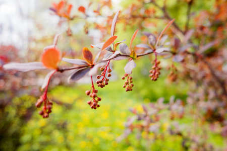Blooming berberis ottawensis deciduous and evergreen shrub stock blooming berberis ottawensis deciduous and evergreen shrub bright yellow flowers natural spring background mightylinksfo