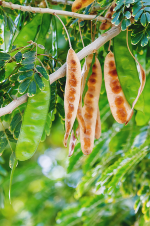 carob: Ceratonia, commonly known as the carob tree, with pods. Egypt. Natural background.