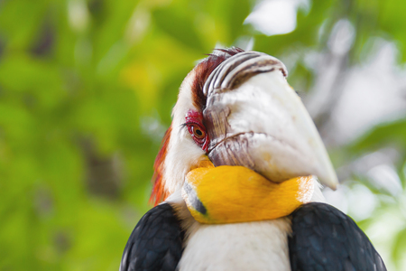 undulatus: Wreathed hornbill (Rhyticeros undulatus) or the bar-pouched wreathed hornbill. Thailand. Stock Photo