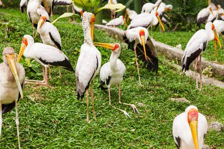 Flock of milky stork (Mycteria cinerea). Big bird with yellow beak. Malaysia. Stock Photo