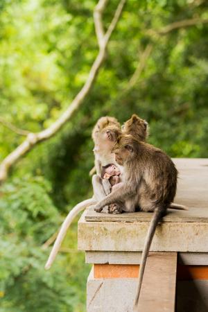 Sleeping monkeys. Family dozing. Monkey forest in Ubud, Bali, Indonesia. Stock Photo