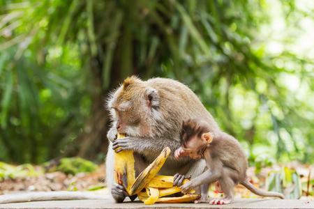 ubud: Monkeys eat bananas.  Monkey forest in Ubud, Bali, Indonesia.