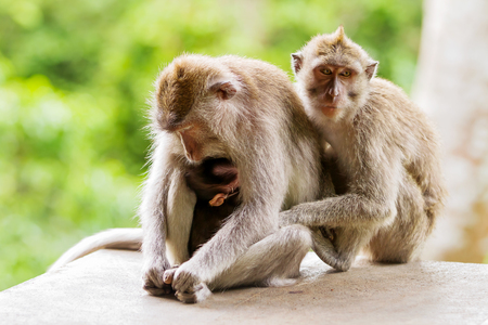 doze: Sleeping monkeys. Monkey forest in Ubud, Bali, Indonesia. Stock Photo