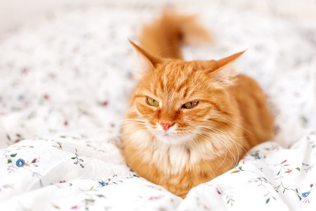 doze: Cute ginger cat lying in bed. Fluffy pet looks angry. Cozy home background. Stock Photo