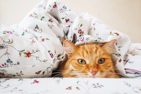 curios: Cute ginger cat lying in bed under a blanket. Fluffy pet comfortably settled to sleep. Cozy home background with funny pet.