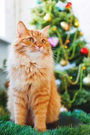 Cute ginger cat and Christmas tree. Fluffy funny pet sits in front of New Year decorated fur-tree. Cozy holiday background with place for text. Stock Photo