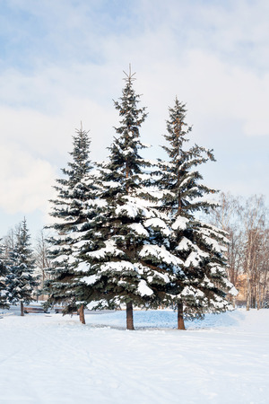 fur trees: Three fur trees in the meadow of park. Winter sunny day. Place for text.
