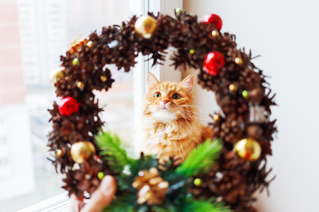 new year cat: Cute ginger cat looks through handmade Christmas wreath, made of pinecones and decorations. Fluffy pet helps to decorate home to New Year.
