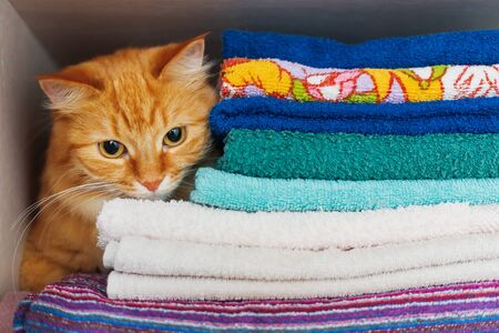 ironed: Cute ginger cat hides in a pile of towels. Fluffy pet with wary eyes tried to sleep in forbidden place - wardrobe with clean and ironed clothes and towels.