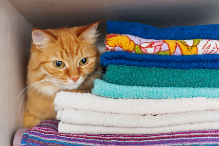 hides: Cute ginger cat hides in a pile of towels. Fluffy pet with wary eyes tried to sleep in forbidden place - wardrobe with clean and ironed clothes and towels.
