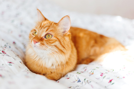 doze: Cute ginger cat lying in bed. Fluffy pet looks curiously. Cozy home background. Stock Photo