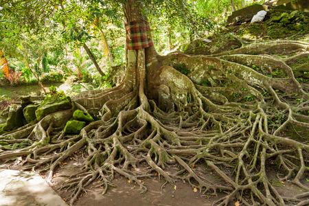 Ceiba dans la grotte de Goa Gajah au temple Pura Goa Gajah (temple de la caverne d'éléphant). Ubud, île de Bali, Indonésie.
