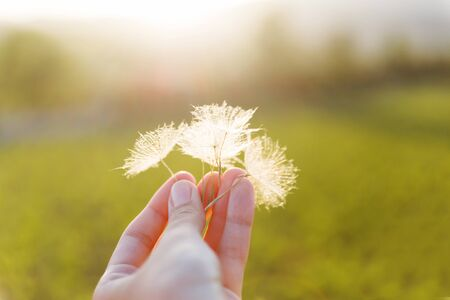 Mans hand with feather seeds of dandelion. Symbol of fragility and lightness.