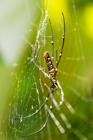 arachnida: The Northern Golden Orb Weaver or Giant Golden Orb Weaver (Nephila pilipes), ventral side. Bali, Indonesia.