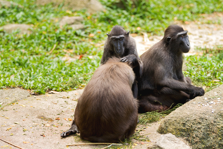 Sulawesi Crested Macaque. Monkeys looking for insects in the fur of each other. Singapore.