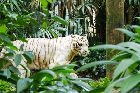 Relaxing white bengal tiger in Singapore.