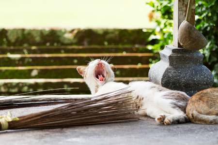 undomestic: Stray cat yawns in Taman Ayun temple, a royal temple of Mengwi Empire. Bali. Indonesia.