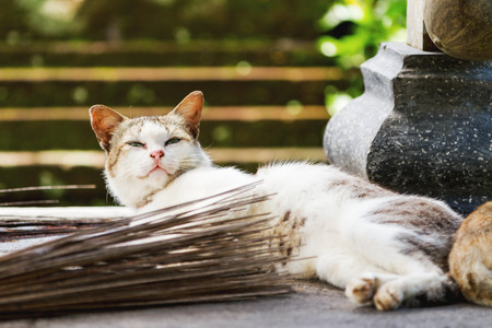 undomestic: Stray cat in Taman Ayun temple, a royal temple of Mengwi Empire. Bali. Indonesia.