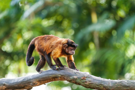 Brown Capuchin monkey sits on tree. Singapore.