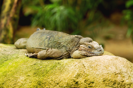 doze: The rhinoceros iguana (Cyclura cornuta) sleeping on rock.