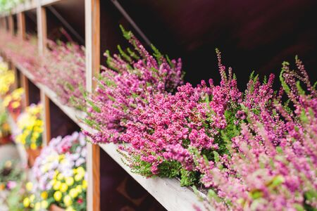 Wooden shelfs with pink potted Erica flowers.