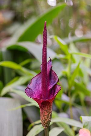 Amorphophallus konjac (also known as konjak, konjaku, konnyaku potato, devil's tongue, voodoo lily, snake palm, or elephant yam). Stockfoto