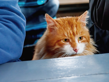 undomestic: Hungry ginger cat sits at a table with people.