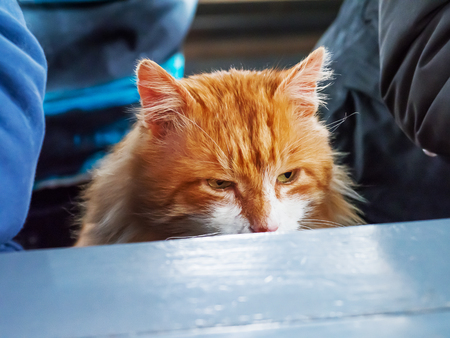 Hungry angry ginger cat sits at a table with people.