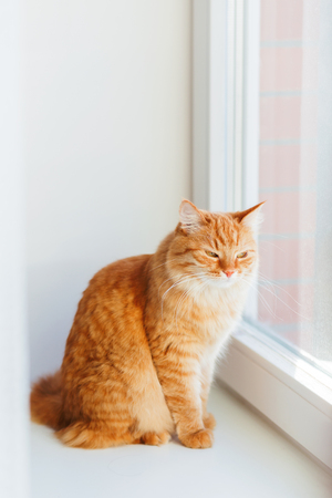 doze: Cute ginger cat siting on window sill and waiting for something. Fluffy pet looks arrogant or disapointed.