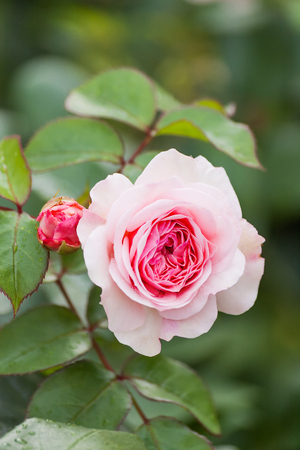 Natural summer background with David Austin pink rose. Beautiful blooming flower on green leaves background. Stock Photo - 89197705