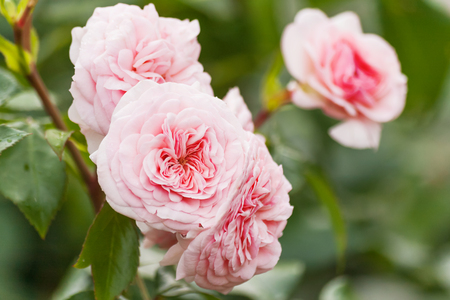 Natural summer background with David Austin pink rose. Beautiful blooming flower on green leaves background.