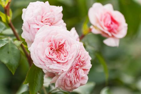 Naturalne letnie tło z różową różą Davida Austina. Piękny kwitnący kwiat na tle zielonych liści.