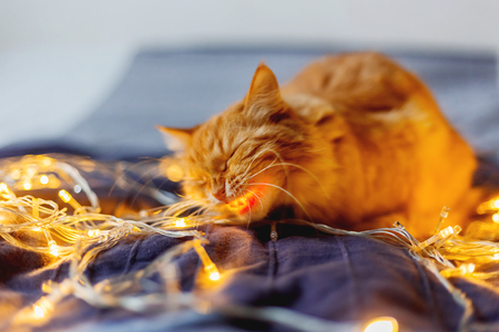 Cute ginger cat biting shining light bulbs, holiday decoration. Cozy home holiday background.