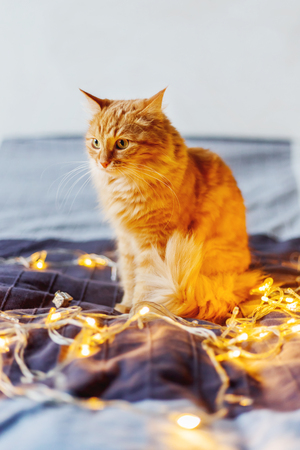 Cute ginger cat sitting on bed with shining light bulbs. Fluffy pet looks curiously. Cozy home holiday background.