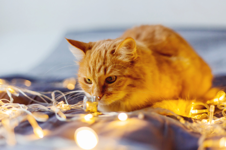 Cute ginger cat sniffing shining light bulbs. Fluffy pet looks curiously. Stock Photo