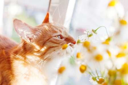 Cute ginger cat smelling a bouquet of camomiles. Cozy spring morning at home.