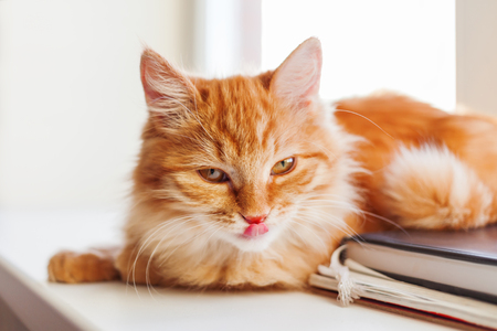 Cute ginger cat looking coquettishly. Close up portrait of fluffy pet. Cozy morning at home. Stock Photo