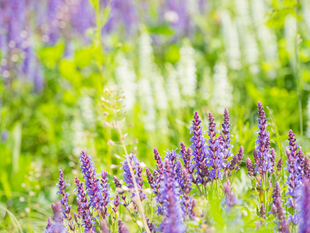Natural summer background with blooming Woodland Sage (Balkan clary, Salvia nemorosa). Russia. Фото со стока