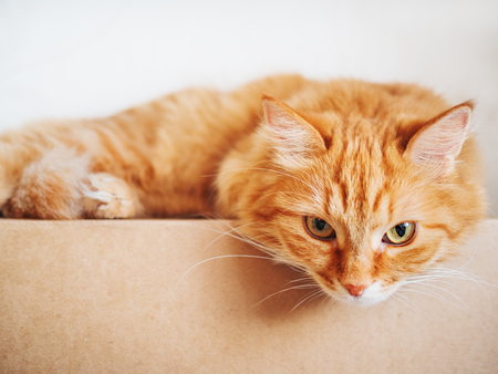 Cute ginger cat lying on carton box. Fluffy pet gazing curiously.