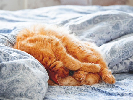 Cute ginger cat lying in bed. Fluffy pet looks curiously. Cozy home background. Stock Photo