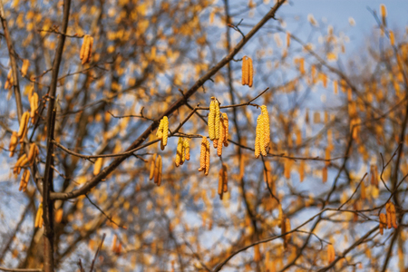 Blooming Alder tree (Alnus). Early spring nature background. Stock Photo