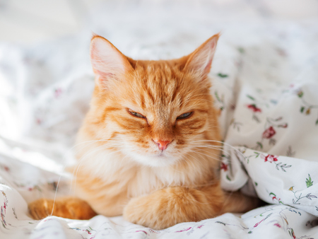 Cute ginger cat lying in bed under blanket. Fluffy pet looking arrogantly. Cozy home background, morning bedtime. Stock Photo