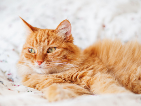 Cute ginger cat lying in bed. Fluffy pet gazing curiously. Cozy home background, morning bedtime. Stock Photo