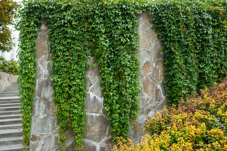 Stone wall is almost completely overgrown with ivy.
