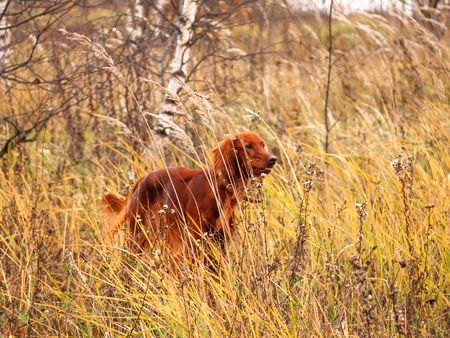 Irish setter dog on autumn field. Natural fall background with yellow dried grass and running pet.