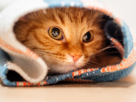 Cute ginger cat sitting inside rolled up carpet. Fluffy pet looks with curiosity.