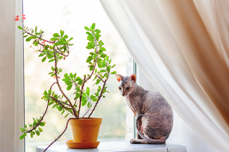 Sphinx cat sitting on awindow sill near indoor plant. Hairless pet looks arrogant.