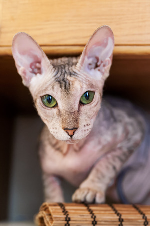 Sphinx cat is hiding on book shelf. Hairless pet looks with curiosity