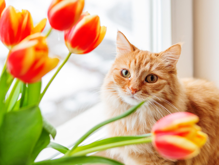 Süße Ingwerkatze mit Strauß roter Tulpen. Flauschiges Haustier mit bunten Blumen. Gemütlicher Frühlingsmorgen zu Hause.
